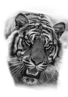 Tiger Sketch, Tiger Drawing, Lion Tattoo, Cat Tattoo, Jaguar Tattoo, Fuchs Tattoo, Tiger Tattoo Design, Lion Pictures, Leg Tattoo Men