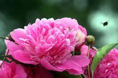 Arabeschi di luce: La peonia, rosa senza spine