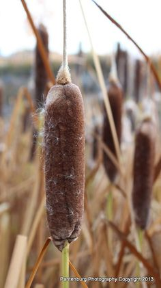 Look for the cattail head, regardless of the time of year. Toxic iris plants' leaves resemble the cattail's, but the iris don't have a similar head.