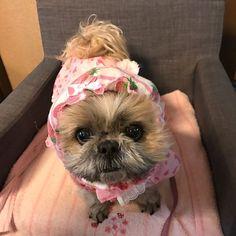 yunchan_0226 : 準備完了しました〜  でもお散歩の様子はむぅちゃんに任せます。  私はほとんど歩きませんから。  #雨は嫌だね  #夜中に眠れずインスタをする  #濃いコーヒーが良くなかったみたい  #可愛いワンコに癒されてください。  #シーズー#愛犬#犬#いぬ#わんこ#きょうのわんこ#多頭飼い#シーズー大好き部#dogs#shihtzu