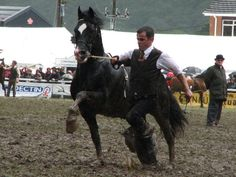 Welsh Cob Senior Stallions class at the Royal Welsh 2009