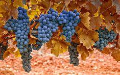 Winogrona, Kiście, Liście