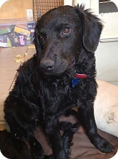 Cora's Info...  Breed:Flat-Coated Retriever/Labrador Retriever MixColor:UnknownAge:Puppy Size:Med. 26-60 lbs (12-27 kg)Sex:Female ID#:13127 I am good with kids, good with dogs, and good with cats.  Cora's Story... more info to follow soon