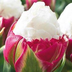Double Peony Tulip Ice Cream