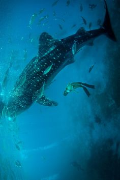 Whale Shark | by: { Jimmy. T }