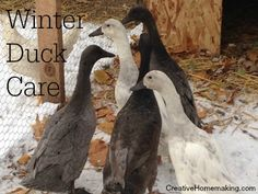 Tips for caring for pet ducks and keeping them comfortable during the winter months. Geese Breeds, Duck Breeds, Pet Chickens, Raising Chickens, Canard Coop, What To Feed Ducks, Duck Waterer, Ancona Ducks, Duck Enclosure