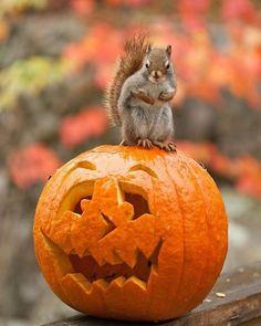 helloween squirrel