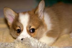 """Corgi pup - """"Pembrokes are big dogs in small packages. No one is a stranger, and they can wrap anyone around their paws. They are the world's best con artists, especially when it comes to food."""""""