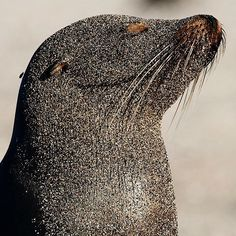 Une femelle otarie couverte de sable. / A sand-covered female Sea-lion. / Galapagos. / Photo by @mattiasklumofficial. / For @natgeo.