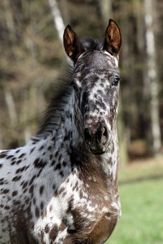 I want an appaloosa and name them skittles