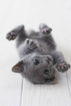 Cutest Kitten Breeds: Russian Blue Aww why am I allergic to kitties? Animals And Pets, Baby Animals, Funny Animals, Cute Animals, Cute Kittens, Cats And Kittens, Cutest Kitten Breeds, Cat Breeds, Russian Blue Kitten