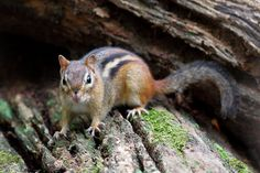 """Eastern chipmunk (Tamias striatus). Do not try to feed or pet. This is the only species of chipmunk found in Connecticut. Its name ts name comes from the Odawa (Ottawa) word ajidamoonh or the Ojibwe word ajidamoo, which translates literally as """"one who descends trees headlong."""""""