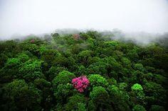 Kaw Dağında Pembe Trompet Ağacı, Fransız Guyanası