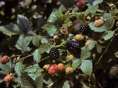Charm L.A: The Archive — wild-flowers: Sawtooth Blackberry