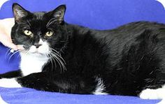 Blackwood, NJ - Domestic Shorthair. Meet Katie, a cat for adoption. http://www.adoptapet.com/pet/17155926-blackwood-new-jersey-cat