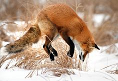 Fox Pouncing in Snow | Photo: #A fox leaps to pounce on a vole it has heard beneath the snow ...