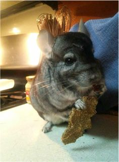 We had some Critical Care that was about to expire, so we used it to make some chinchilla cookies.