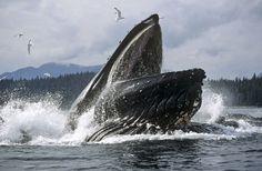 Amazing Up-Close Whale Feeding