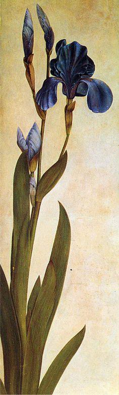 Iris Troiana, Albrecht Dürer,1508