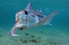 Australian Ghost Shark AKA elephant shark use their hoe-shaped snouts to probe the ocean bottom for invertebrates and small fishes.