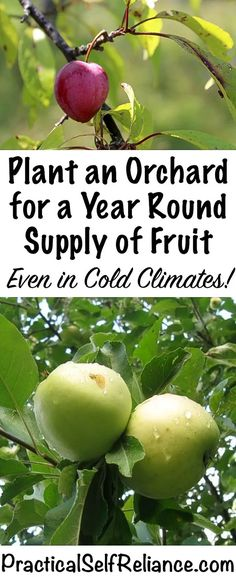 Organic Gardening Ideas How to Plant an Orchard for a Year Round Supply of Fruit ~ Even in Cold Climates ~ Zone 4 Orchard - I have this dream of someday growing all our own food for a full year Home Vegetable Garden, Fruit Garden, Herbs Garden, Potager Garden, Garden Pests, Garden Bed, Organic Vegetables, Growing Vegetables, Gardening Vegetables
