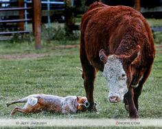 """If you ever wondered why they call them """"heelers"""" ...here is one doing what they do!"""