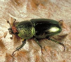 Image result for golden jewel beetle