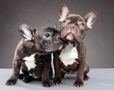 Frenchies... I want them!!!!!
