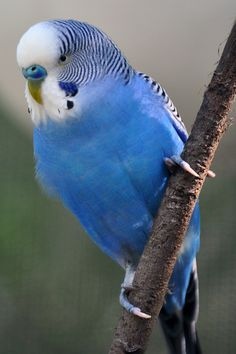 Parakeet--looks like our Petey--He was a funny bird.  He loved coffee with cream & sugar & peanut butter toast.