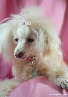 Time For Poodles And Friends: Tivol, Bling, And Rescue
