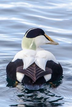 Common Eider - northern coasts of Europe, North America, E Siberia. It breeds in Arctic and some northern temperate regions, but winters somewhat farther south in temperate zones, when it can form large flocks on coastal waters.