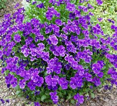 Sarviorvokki - Viola cornuta Flowers Perennials, Outdoor Gardens, Flowers, Flower Garden Design, Gardening For Beginners, Garden Design, Perennials, Most Beautiful Flowers, Pansies