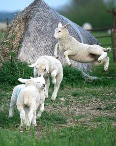 Sheep Leap 01 ~ leaping lambs by georgei145 ~ Flickr - Photo Sharing.  April, 2008.