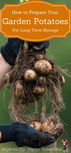 How To Prepare Garden Potatoes for Long Term Storage. How cure, store and enjoy your potatoes for months.