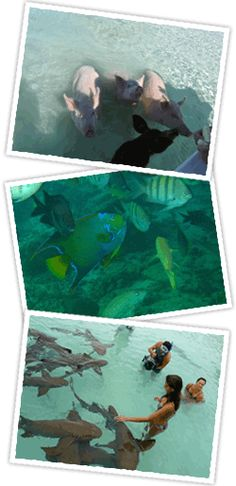 the 4 c's Exuma Bahamas Water Tours Excursions Swimming Pigs