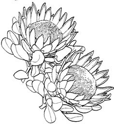 Protea Flower Drawing Sketch Coloring Page Protea Art, Flor Protea, Protea Flower, Flower Coloring Pages, Colouring Pages, Art Drawings Sketches, Tattoo Drawings, Botanical Illustration, Botanical Art