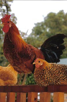 Buttercup chickens - Cackle Hatchery. Large Selection. Has good small pullet order prices for city chickens.