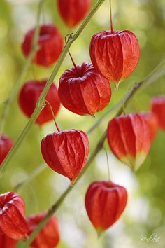 - Chinese Lanterns - my mother used to grow these.