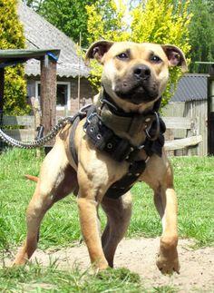 Pitbull Bloodlines, Staffy Dog, Pit Dog, Pitbull Terrier, Bull Terriers, American Pitbull, Dog Games, Dog Fighting, Dog Hoodie