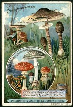 Mushrooms Fungi Mycology BEAUTIFUL c1900 Card