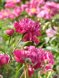 I will plant more peonies this year