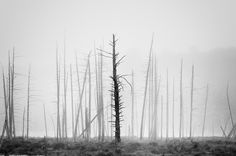 A lone dead tree stands out among others in the fog at Harvey Pond