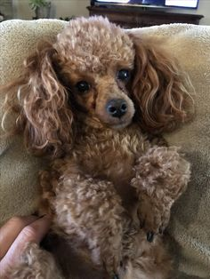 Toy Poodle Puppies, Teacup Puppies, Dogs And Puppies, Doggies, Red Poodles, Mini Poodles, Black Standard Poodle, Silver Poodle, Poodle Haircut