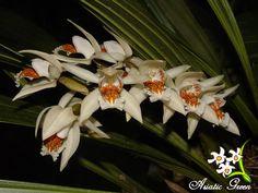Coelogyne Asperata Culture | Asiatic Green ::.:: Orchids :: Coelogyne
