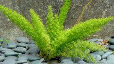 San Francisco Landscaping Plants Directory Asparagus Fern, Plant Zones, Deer Resistant Plants, Plant Pictures, Landscaping Plants, Cool Plants, Native Plants, Ferns, Lawn