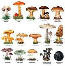 HONGOS VENENOSOS : estos hongos son toxicos ,puenden enfermar,provocar alucinaciones y hasta provocar la muerte.
