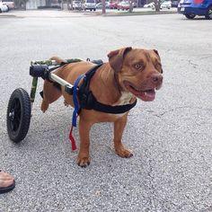 Cute Pit Bull Mix in his camo colored Walkin' Wheels!!!