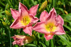 Gordon Biggs Daylily along the Cleaver Event Lawn at Coastal Maine Botanical Gardens