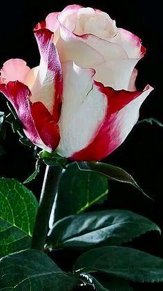 Beautiful Rose Flowers, Exotic Flowers, Amazing Flowers, Pretty Flowers, Beautiful Beautiful, Coming Up Roses, Hybrid Tea Roses, Growing Roses, Rose Buds