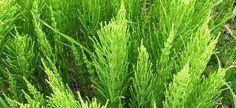 Permaculture, Herbal Remedies, Natural Remedies, Regrow Hair Naturally, Fern Plant, Hair Loss Remedies, Plantar, Plantation, Health Benefits